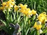 irises_yellow