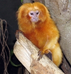 red monkey in tree