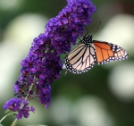 butterflybushbutterfly