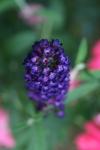 butterflybushclose